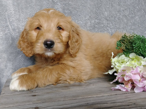 F1B Goldendoodle For Sale Millersburg, OH Male- Brody