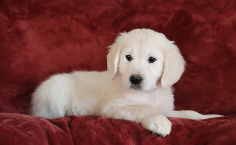 AKC Registered English Cream Golden Retriever For Sale Fredericksburg, OH Male - Brody -Genetic Tested