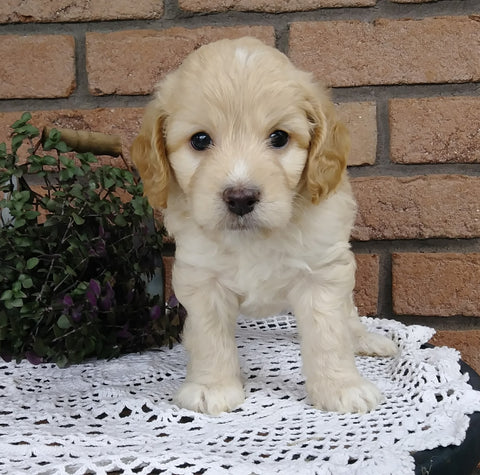 Cockapoo For Sale Millersburg, OH Male- Brody