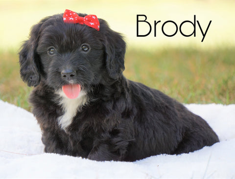 Mini Goldendoodle For Sale Sugarcreek, OH Male - Brody