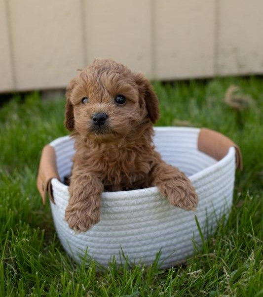 Cockapoo For Sale Fredericksburg, OH Female- Brooke