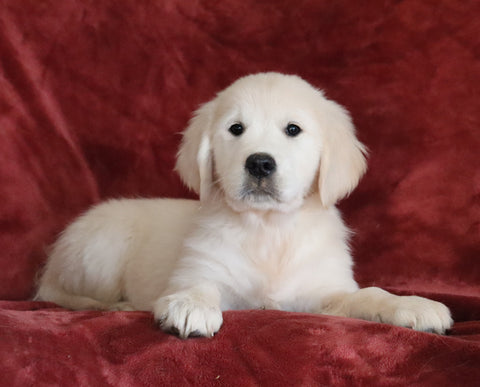 AKC Registered English Cream Golden Retriever For Sale Fredericksburg, OH Female - Brooke -Genetic Tested