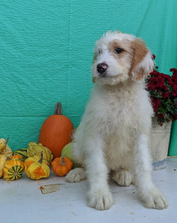 Mini Bernedoodle For Sale Sugarcreek, OH Male- Bruno