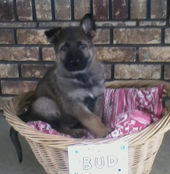 AKC Registered German Shepherd For Sale Millersburg, OH Male- Bud