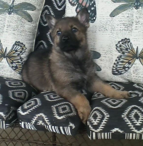 AKC Registered German Shepherd For Sale Millersburg, OH Male- Bullet