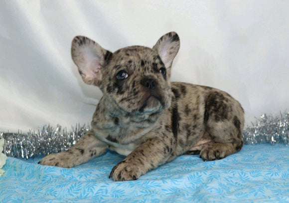 AKC Registered French Bulldog For Sale Wooster, OH Male- Buster