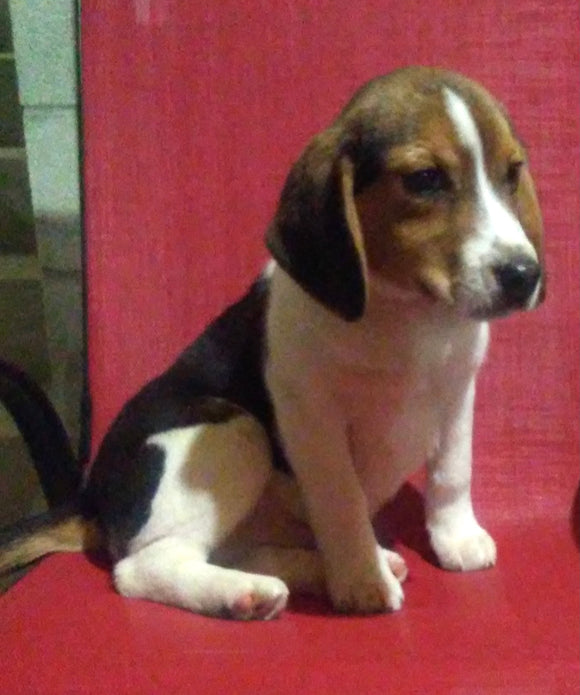 Beagle Puppy For Sale Fredericksburg, OH Male- Buster