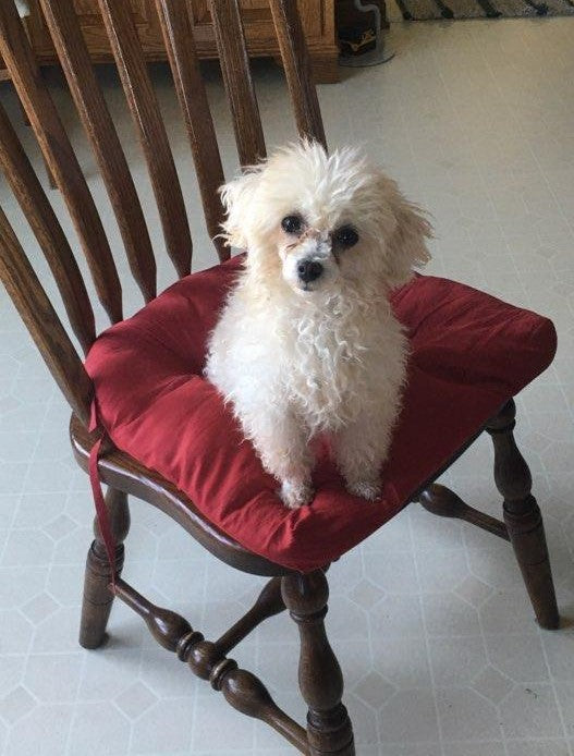 ACA Registered Toy Poodle For Sale Millersburg, OH Male- Butter Ball