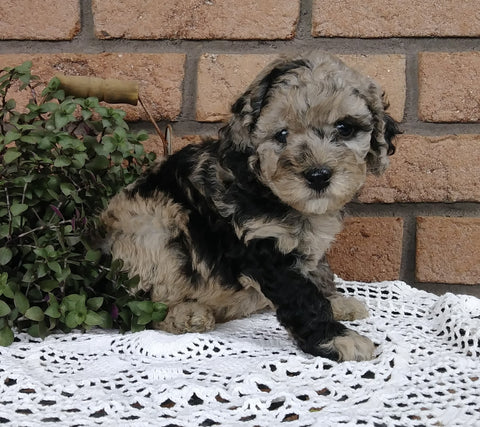 Cockapoo For Sale Millersburg, OH Female- Butterfly