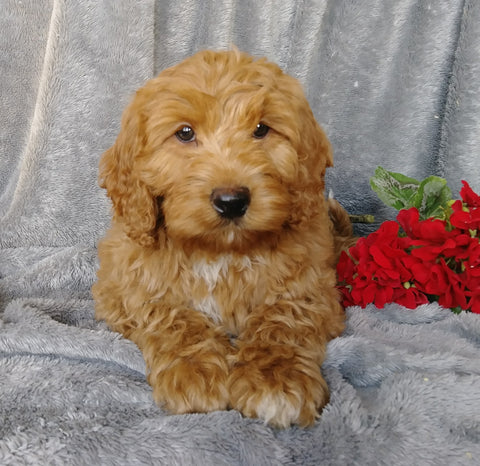 Medium F1B Labradoodle For Sale Millersburg, OH Female- Button