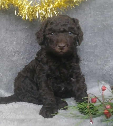Mini Labradoodle For Sale Millersburg, OH Male- Cinnamon