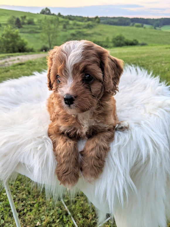 Cavapoo for Sale Dundee, OH Female- Calli