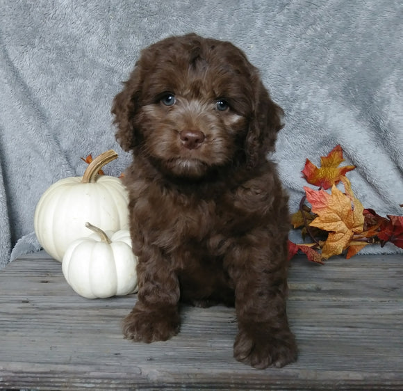 F1B Mini Labradoodle For Sale Millersburg, OH Male- Calvin