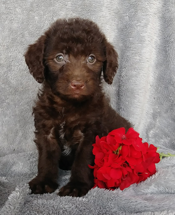 Mini F1B Labradoodle For Sale Millersburg, OH Female- Candy