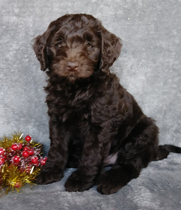 Mini Labradoodle For Sale Millersburg, OH Male- Candy Cane