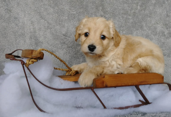 F1B Mini Labradoodle For Sale Millersburg, OH Male- Carmel