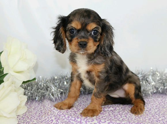 AKC Registered Cavalier King Charles Spaniel For Sale Wooster, OH Female- Cassandra
