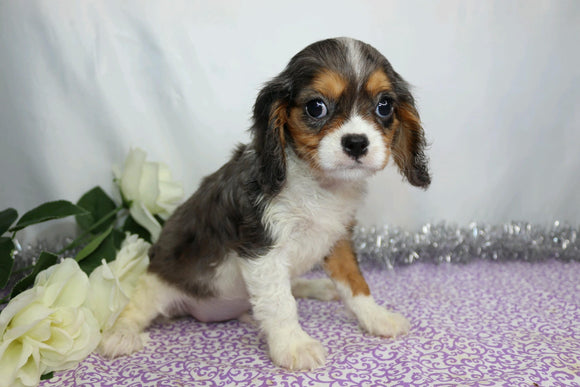 AKC Registered Cavalier King Charles Spaniel For Sale Wooster, OH Male- Casper
