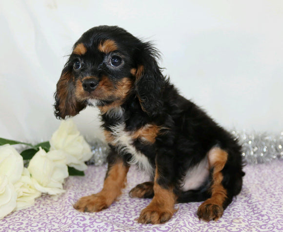 AKC Registered Cavalier King Charles Spaniel For Sale Wooster, Male- Chad