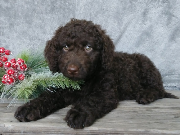 Medium F1B Labradoodle For Sale Millersburg, OH Female- Charlotte