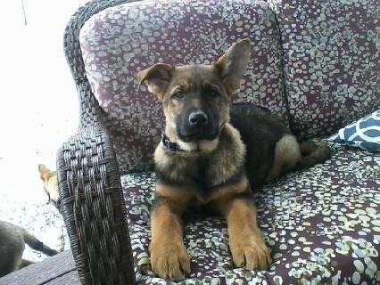 AKC Registered German Shepherd For Sale Millersburg, OH Female- Charlottey