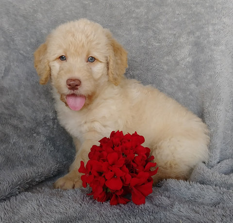 Mini F1B Labradoodle For Sale Millersburg, OH Male- Chase