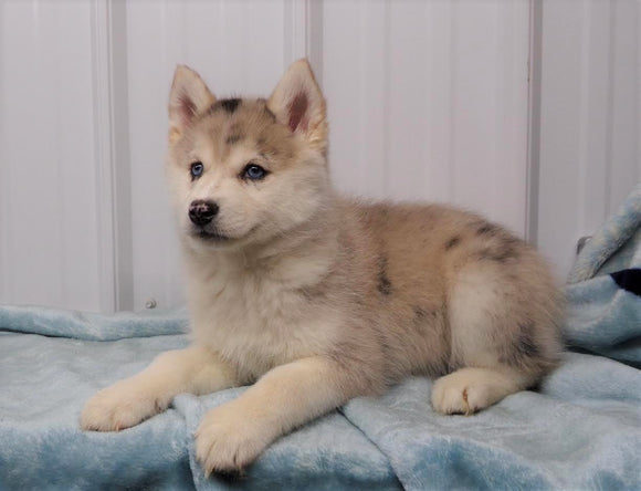 Pomsky Puppy For Sale Waynesburg, OH Female - Chloe
