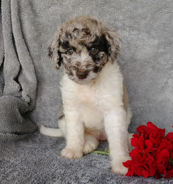 Mini Labradoodle For Sale Millersburg, OH Female- Chloe