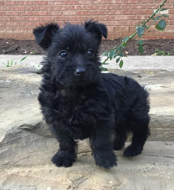 Mini Poodle Mix For Sale Fredericksburg, OH Female- Chloe