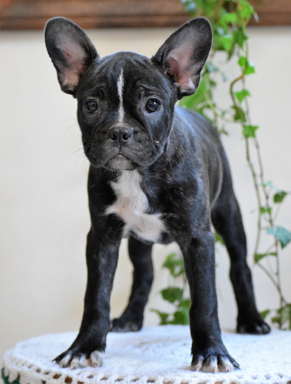 ICA Registered Frenchton Puppy For Sale Shiloh, OH Female- Chloe