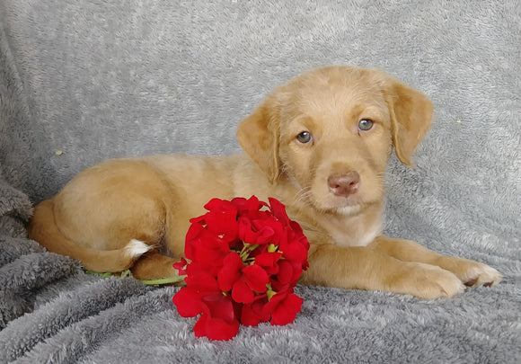Mini F1B Labradoodle For Sale Millersburg, OH Male- Clay