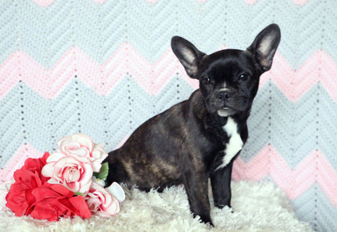 Frenchton Puppy For Sale Mansfield, OH Female- Coco