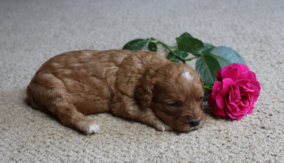 Cavapoo For Sale Fredericksburg, OH Female- Cocoa