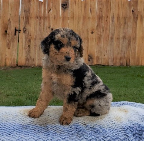 Mini Aussiedoodle For Sale Holmesville, OH Male- Cody