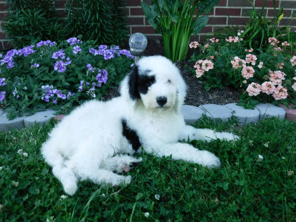 Sheepadoodle (Standard) For Sale Baltic, OH Male- Cody