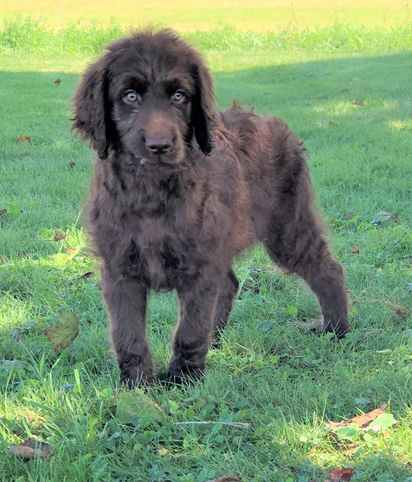 Labradoodle For Sale Sugarcreek, OH Male- Connor
