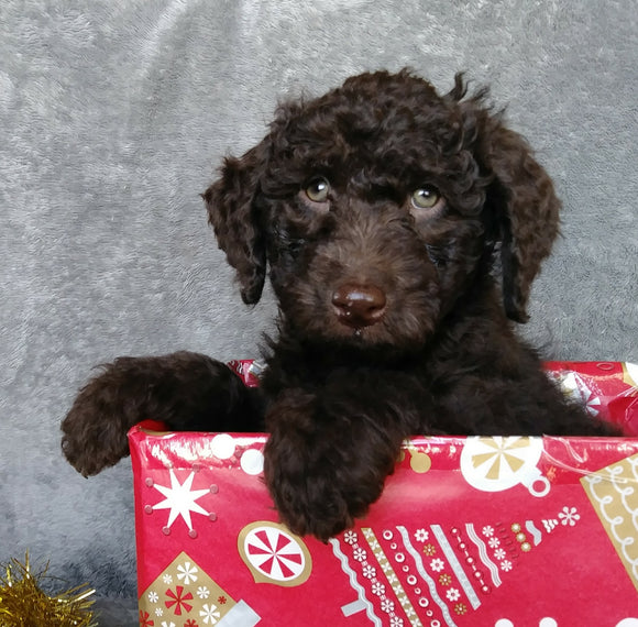 Mini Labradoodle For Sale Millersburg, OH Male- Cookie