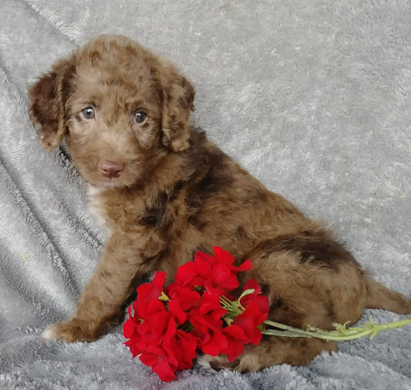 Mini F1B Labradoodle For Sale Millersburg, OH Male- Cooper
