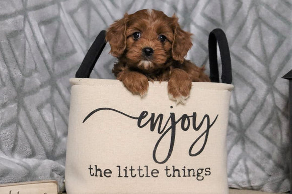 Cavapoo For Sale Fredericksburg, OH Male- Cooper