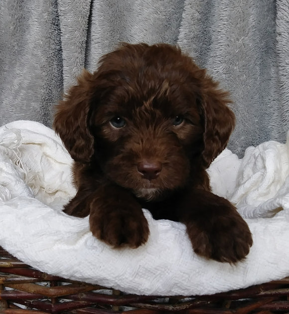 Mini Labradoodle For Sale Millersburg, OH Male- Cooper