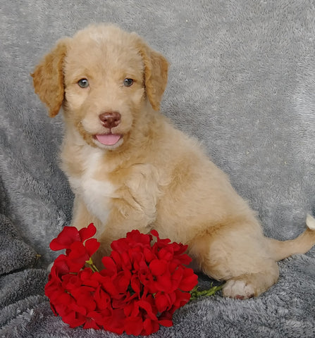 Mini F1B Labradoodle For Sale Millersburg, OH Male- Copper