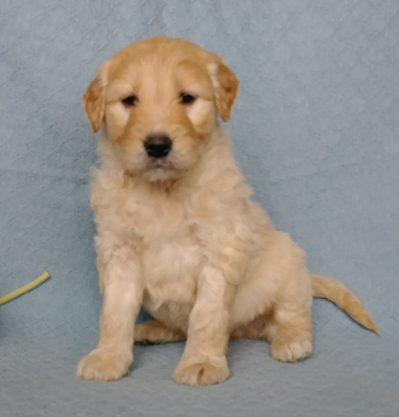 Goldendoodle For Sale Millesburg, OH Male- Cuddles