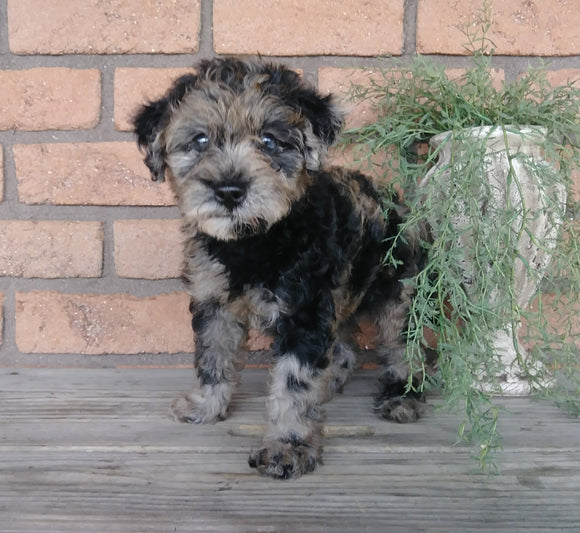 F1B Mini Labradoodle For Sale Millersburg, OH Female- Cuddles