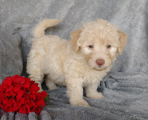 Mini F1B Labradoodle For Sale Millersburg, OH Female- Cupcake