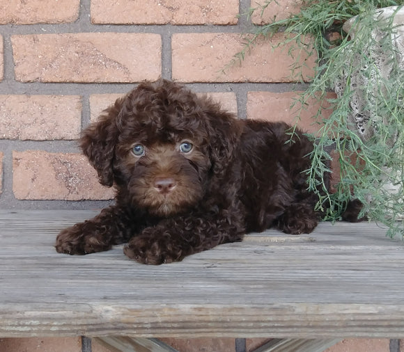 F1B Mini Labradoodle For Sale Millersburg, OH Female- Curly Q
