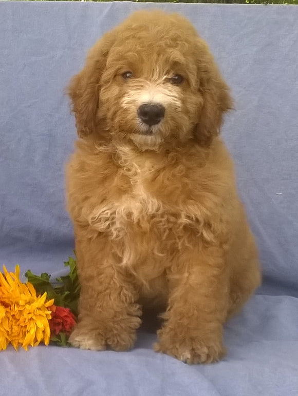 Mini Aussiedoodle For Sale Berlin, OH Male- Rusty