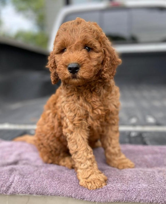 Mini Irishdoodle For Sale Fredericksburg, OH Male- Curtis