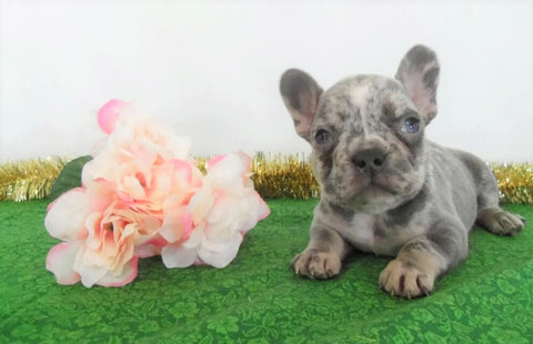 AKC Registered French Bulldog For Sale Holmesville, OH Male- Cyrus