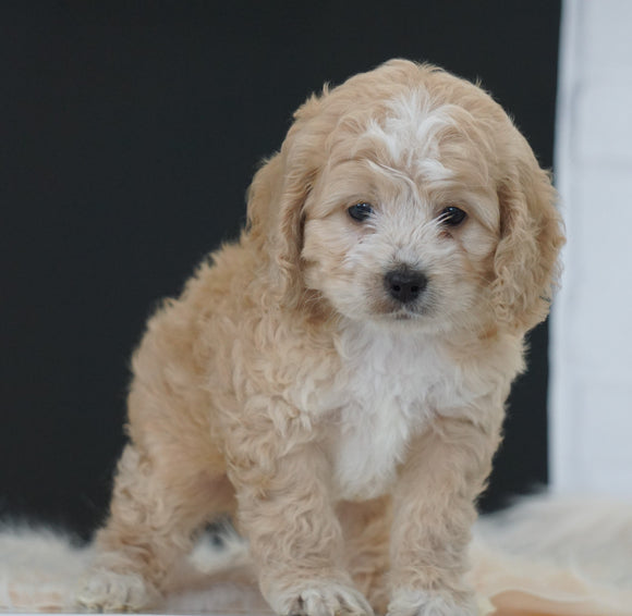 Cockapoo For Sale Dundee, OH Male- Chase