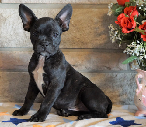 ICA Registered Frenchton For Sale Mansfield, OH Male - Choco